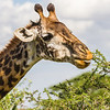 Giraffe eating from top of tree - Serengeti-7443