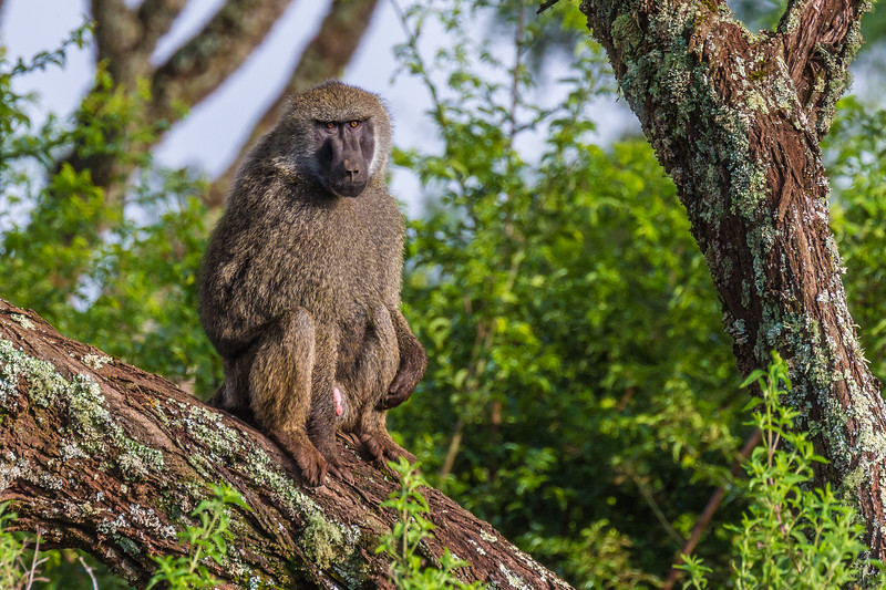 Male Baboon in tree - Ngorongoro-4733
