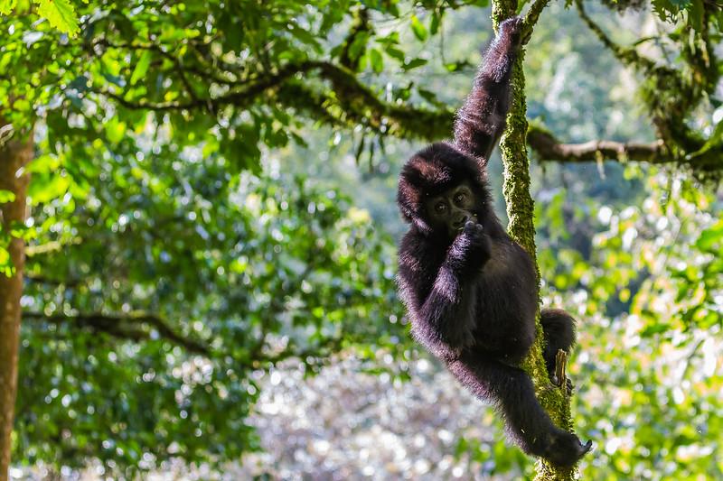 Juvenile gorilla hanging in tree 4 - Uganda-8409