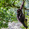 Juvenile gorilla hanging in tree 4 - Uganda-8409