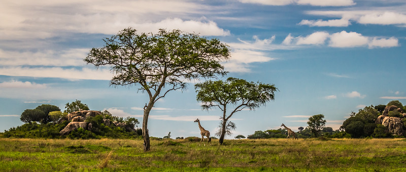 2 giraffe and acacia trees pano HDR - Serengeti-5916