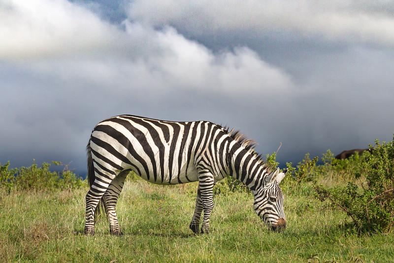 Zebra under stormy skies - Ngorongoro-4795