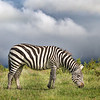 Zebra under stormy skies - Ngorongoro-4795