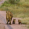 mother lion and two wet muddy cubs walking away - Serengeti-8263