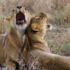 2 lionesses yawning in grass - Serengeti-8078