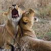 2 lionesses yawning in grass - Serengeti-8078