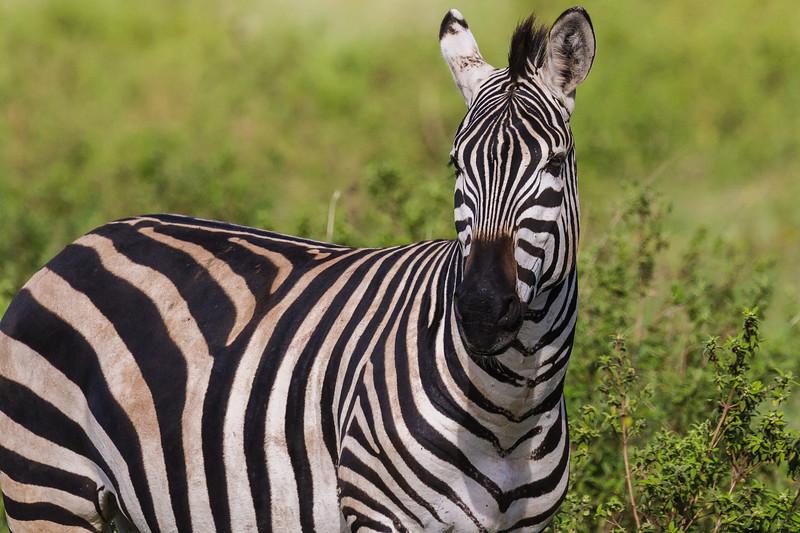 Zebra close up - Ngorongoro-4849
