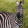 Zebra close up - Ngorongoro-4849