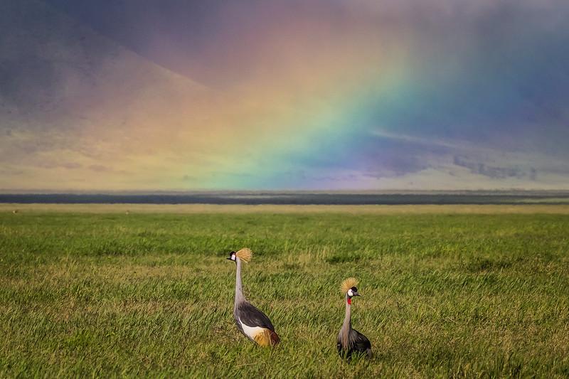Grey Crowned Cranes and Rainbow - Ngorongoro-4913