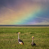 Grey Crowned Cranes and Rainbow - Ngorongoro-4913