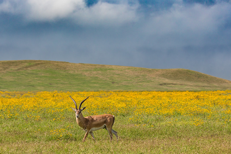 Impala in yellow field of flowers - Ngorongoro-5843
