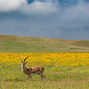 Impala in yellow field of flowers - Ngorongoro-5843