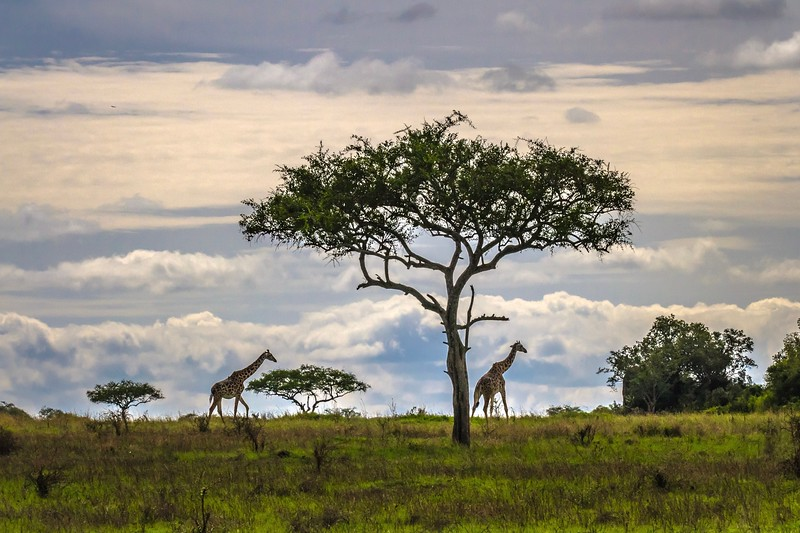 2 giraffes on horizon with acacia tree - HDR - Serengeti-5978