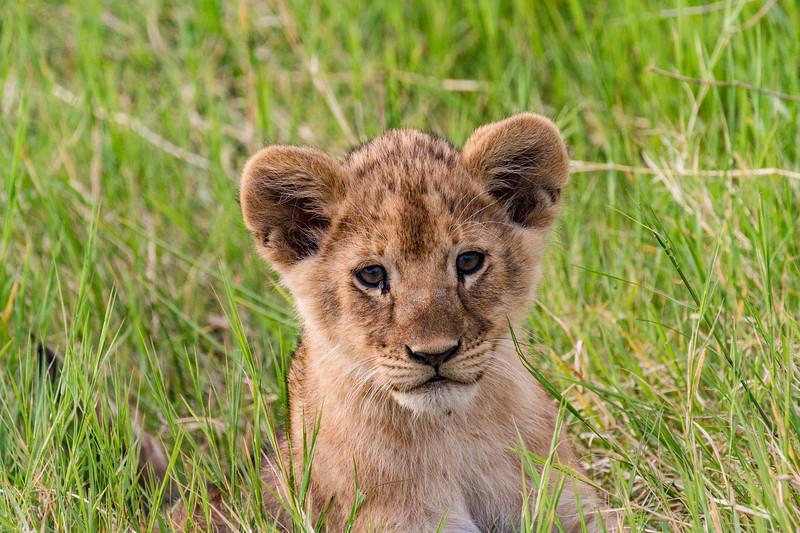 Lion cub in grass - Serengeti-6779