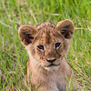 Lion cub in grass - Serengeti-6779