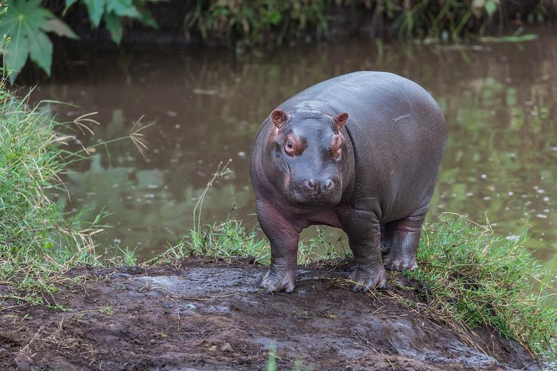 Baby hippo- Ngorongoro-6701