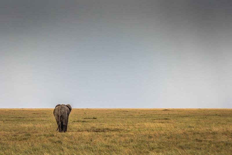 Lone elephant in field walking away - Serengeti-8183