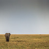 Lone elephant in field walking away - Serengeti-8183