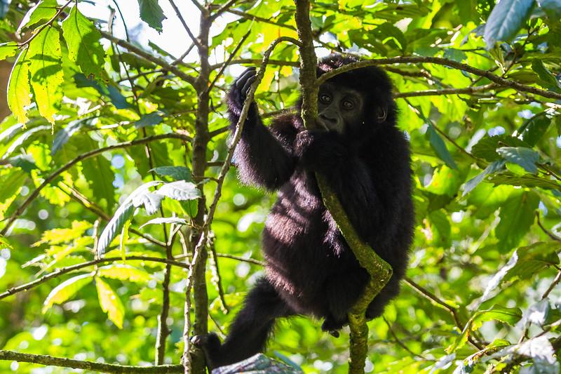 Juvenile gorilla hanging in tree 3 - Uganda-8397