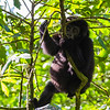 Juvenile gorilla hanging in tree 3 - Uganda-8397