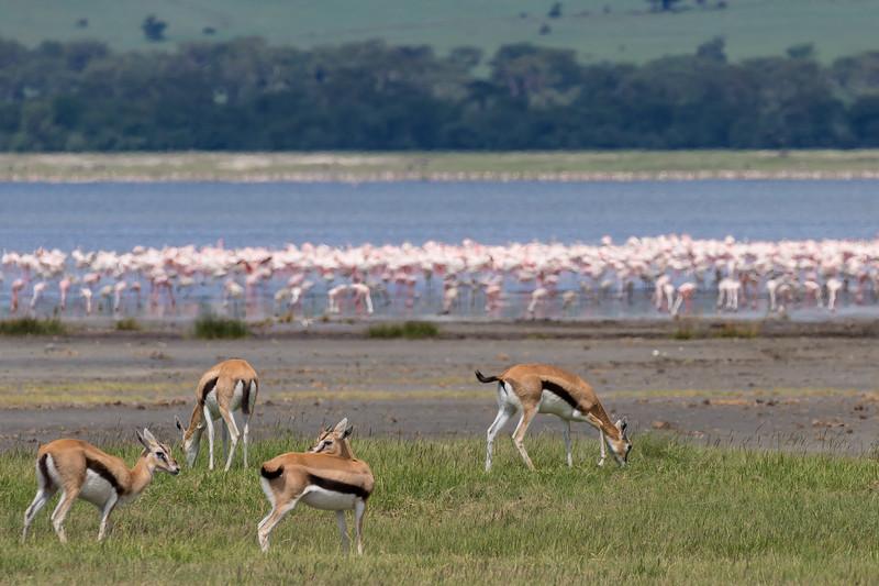 Thompson Gazelle & Flamingo- Ngorongoro-5986