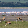 Thompson Gazelle & Flamingo- Ngorongoro-5986