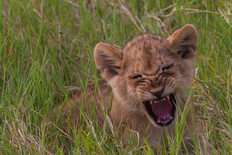 Lion cub playing big scary lion - Serengeti-6818
