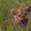 Lion cub playing big scary lion - Serengeti-6818
