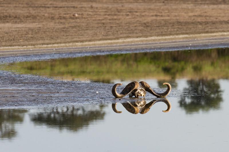 Cape Buffalo skull and reflection - Serengeti-5558