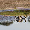 Cape Buffalo skull and reflection - Serengeti-5558