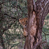 Lion cub - Serengeti - in tree-6383