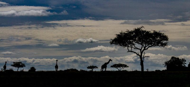 Giraffes in silhouette - Pano - Serengeti-5961