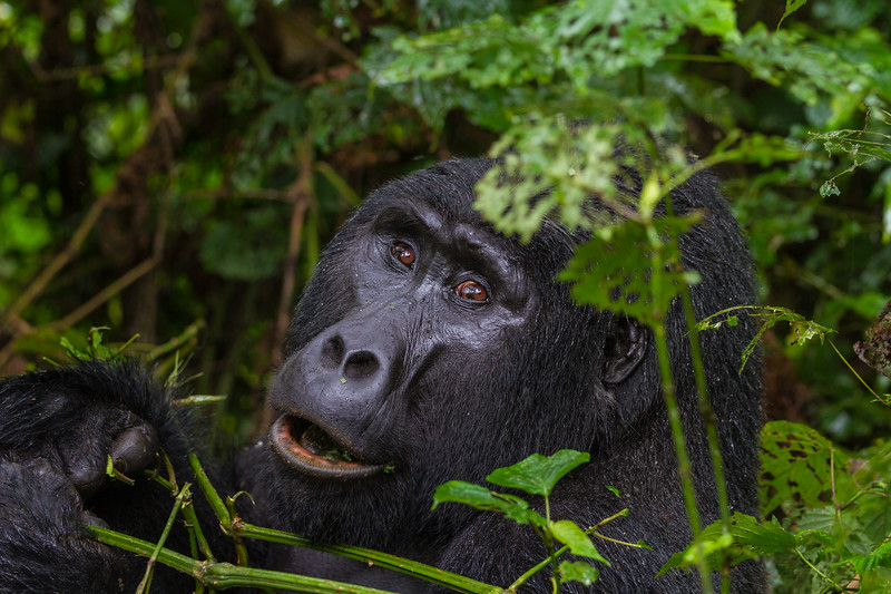Silverback - lg one - closeup face-eyes - with hands - Uganda-9190