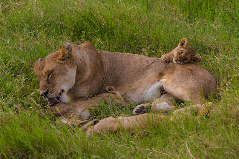 Lioness cleaning cubs- Serengeti-6719
