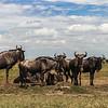 Wildebeast resting - Serengeti-5446