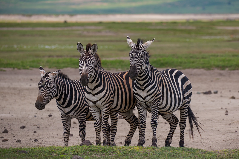 3 Zebras - Ngorongoro-6275