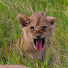 Lion cub sticking out tongue - Serengeti-6808