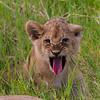 Lion cub sticking out tongue - Serengeti-6808