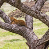 Leopard in tree - Serengeti-6217