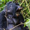 Silverback - young one - with teeth - Uganda-9608