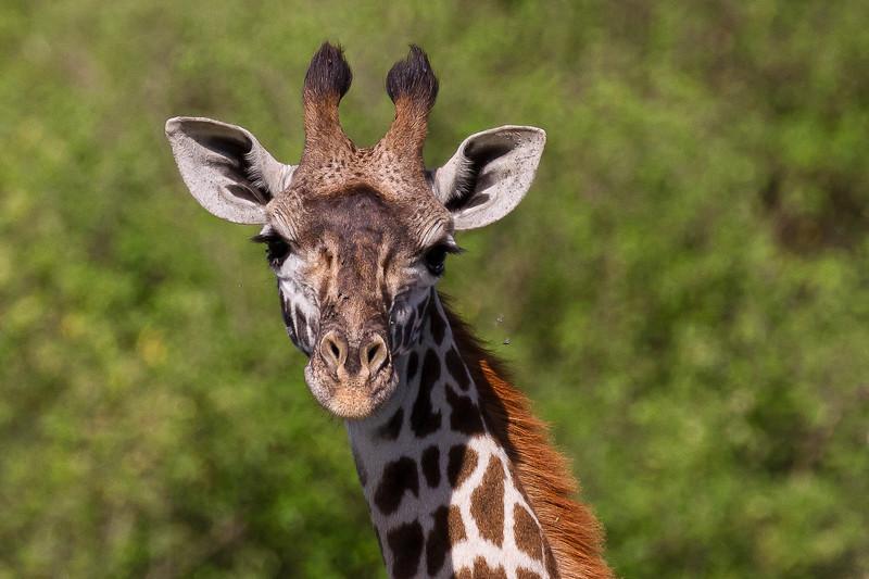 Giraffe- Serengeti-7394