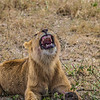 young male lion roaring - Serengeti-8097