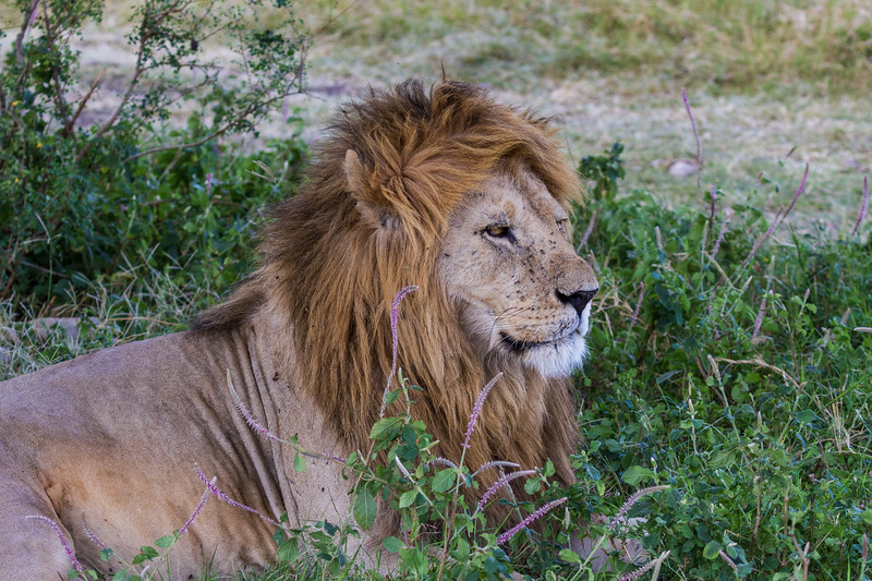 Male lion resting in grass - Serengeti-8188