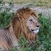 Male lion resting in grass - Serengeti-8188