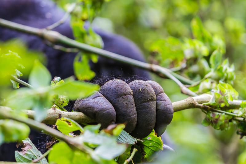 closeup of Silverback hand grasping vine - Uganda-8489