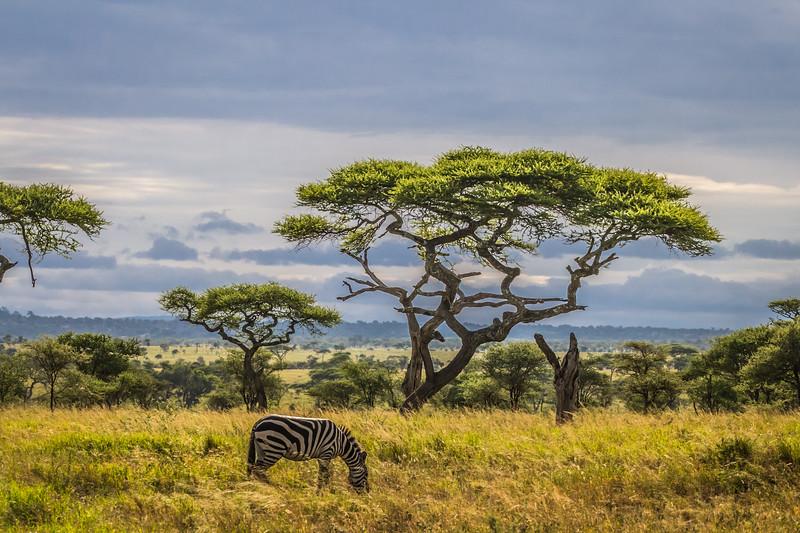 zebra grazing under acacia tree - Serengeti-7928
