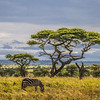 zebra grazing under acacia tree - Serengeti-7928