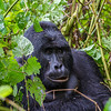 Silverback - lg one - waist up - Uganda-9292