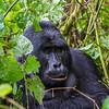 Silverback - lg one - waist up - Uganda-9292