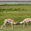 Thompson Gazelle bucks sparing - Ngorongoro-6224